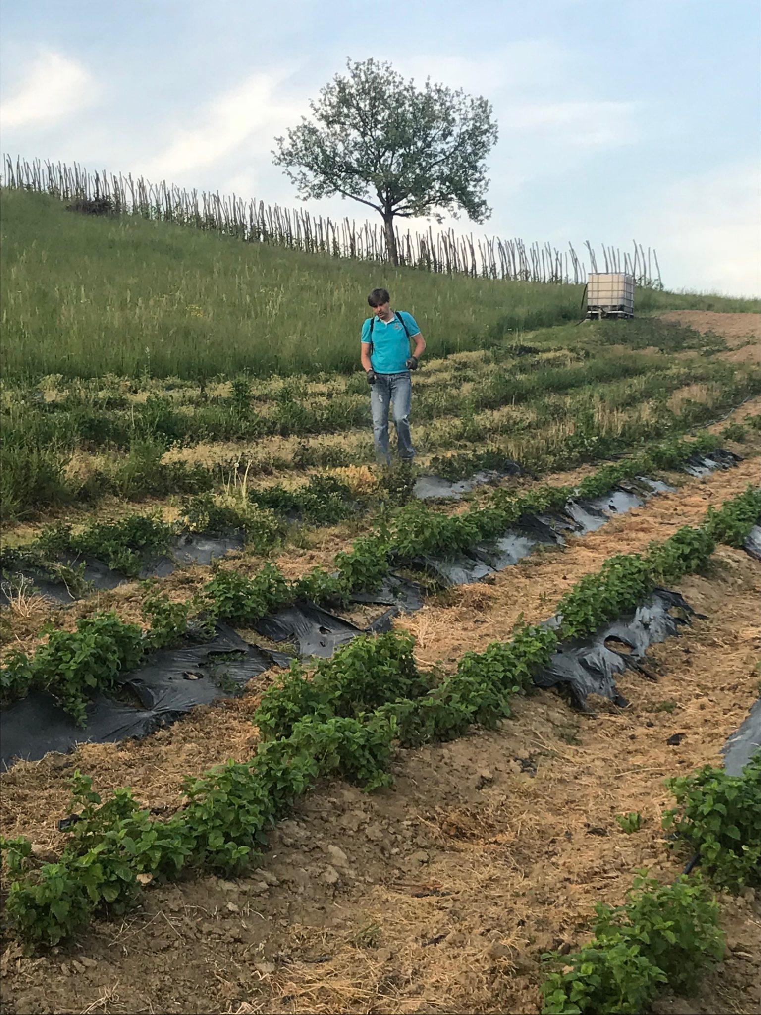 Biodinamička poljoprivreda – pripravak 500